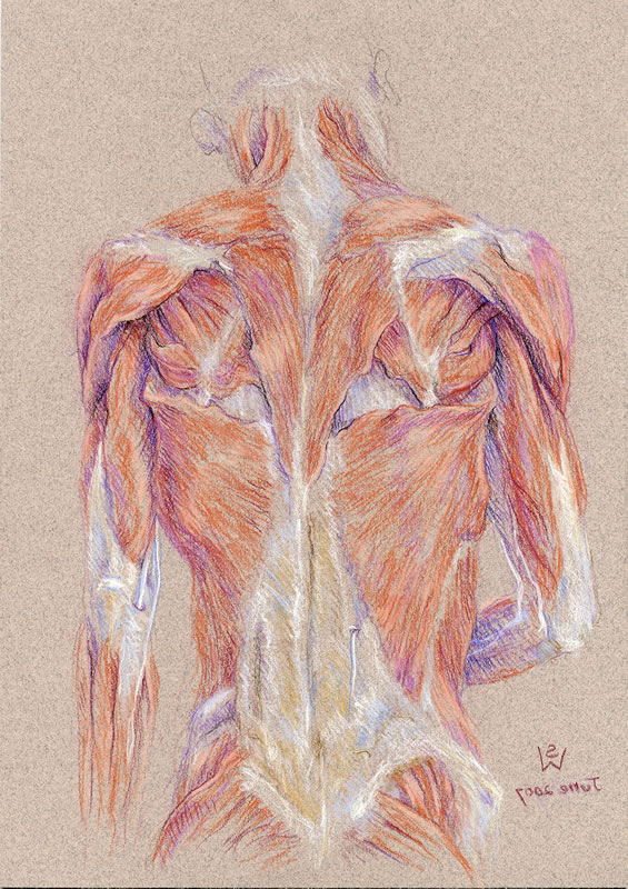 Back, neck and shoulder muscles, mirror tendons 2007 pastel 29 x 21 ...