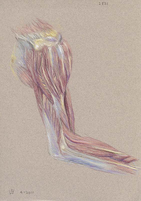 Shoulder, Arm and Elbow (right, lateral view): Muscles and Fascia by Susan Dorothea White