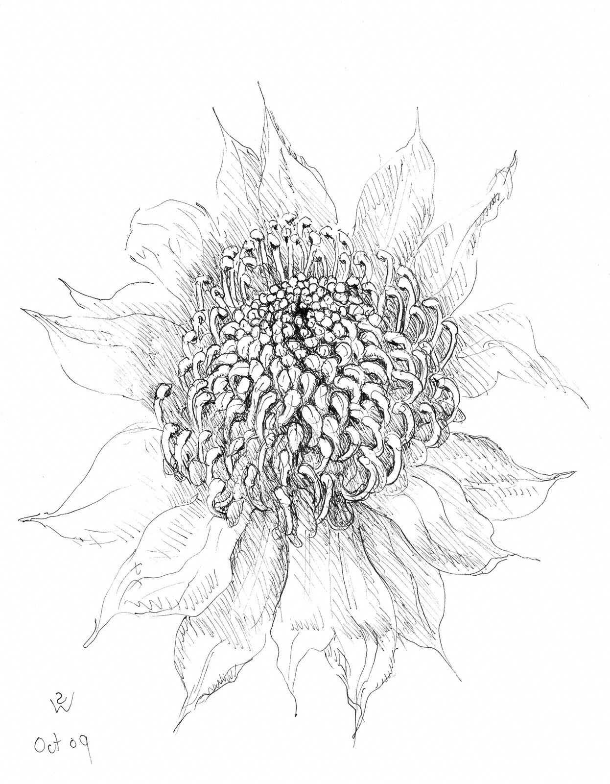 Waratah (pen) by Susan Dorothea White